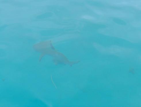 Bora Bora Shark